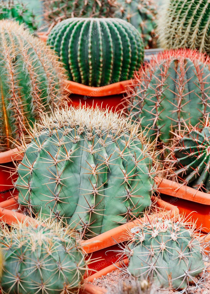 Different kinds of cacti in a greenhouse