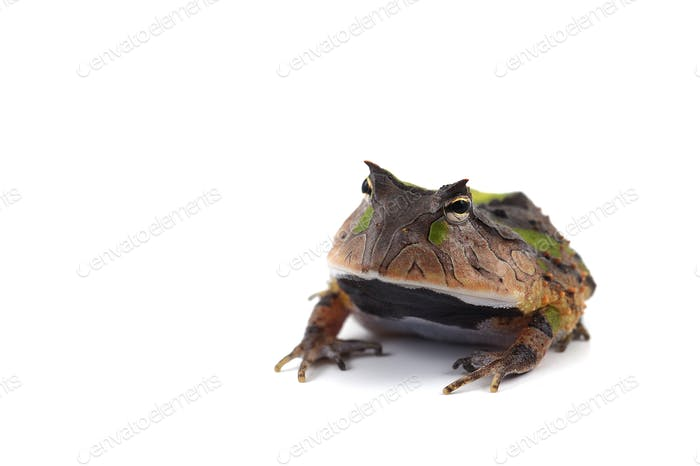 Amazonian Horned Frog isolated on white background