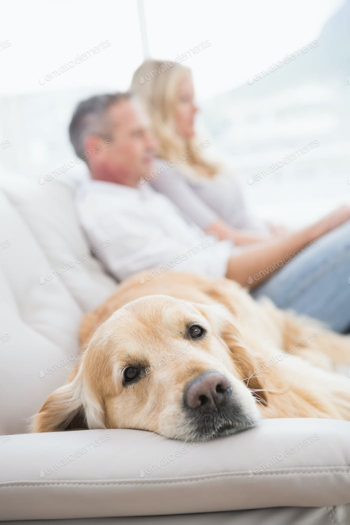 Dog lying on the couch with the couple sitting behind at home in the living room