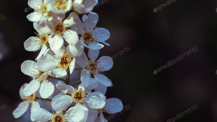 beutiful flowers of cherry tree