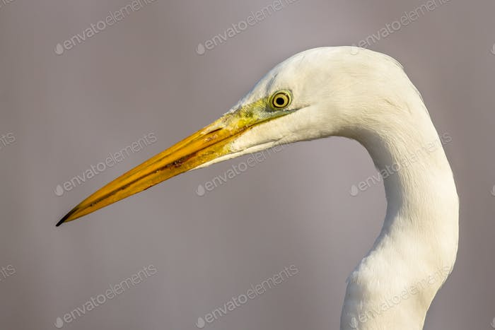 Portrait of Great white Egret