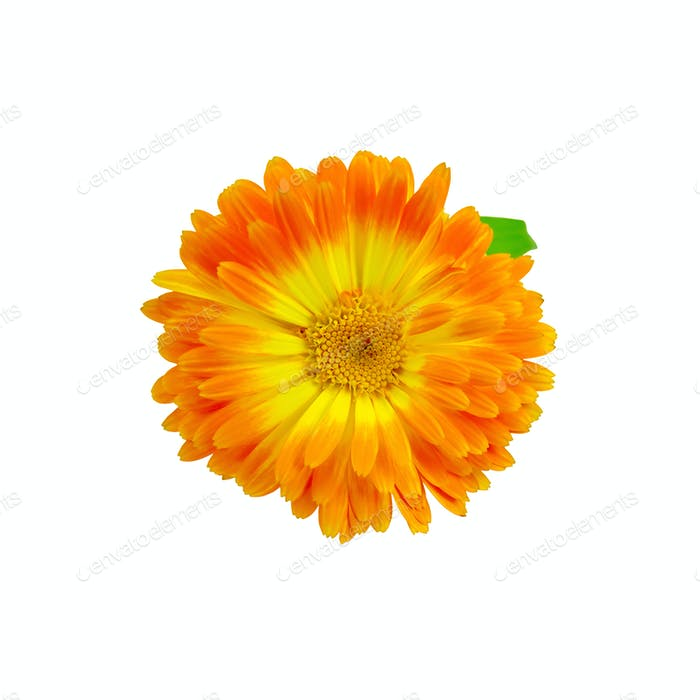 Calendula orange-yellow with a leaf