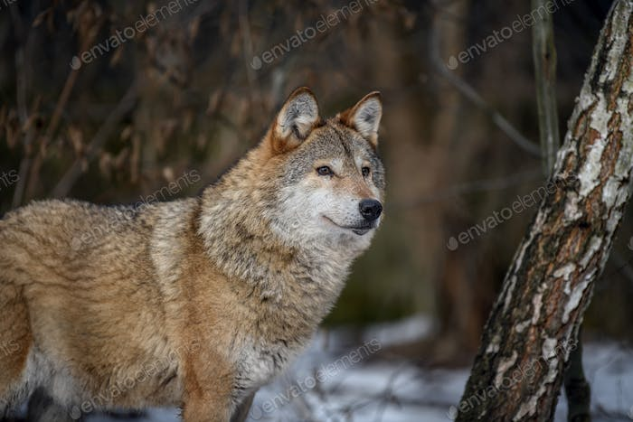 Close up wolf in winter forest background