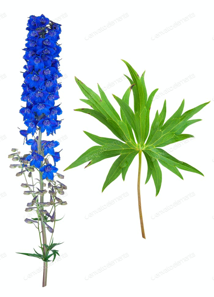 Medicinal plant: Delphinium