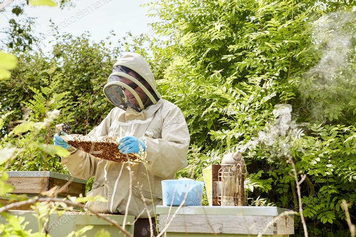 A beekeeper in a beekeeping suit with face protector checking and opening his hives.