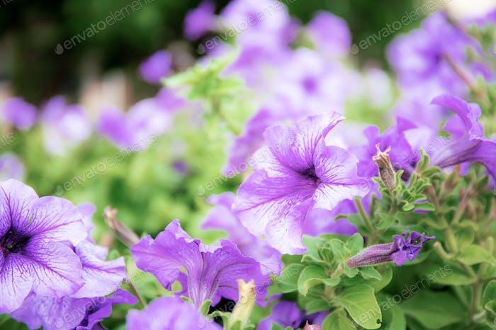 Flor púrpura con hermosa