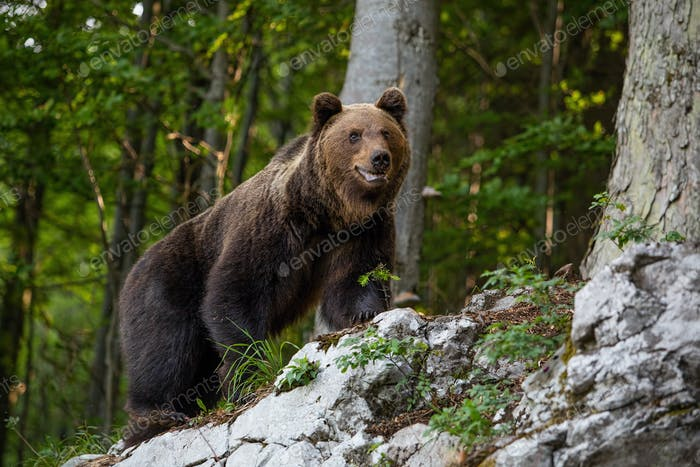 Dominant brown bear, ursus arctos standing on a rock in forest