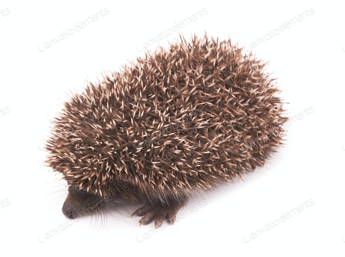Little hedgehog with spiky  on while background