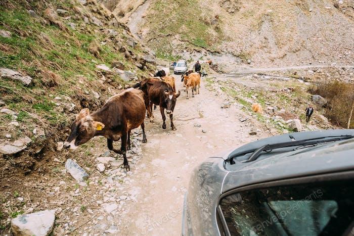 Kühe Wandern entlang Ein Schmaler Berg Landschaft Straße In Rocky M