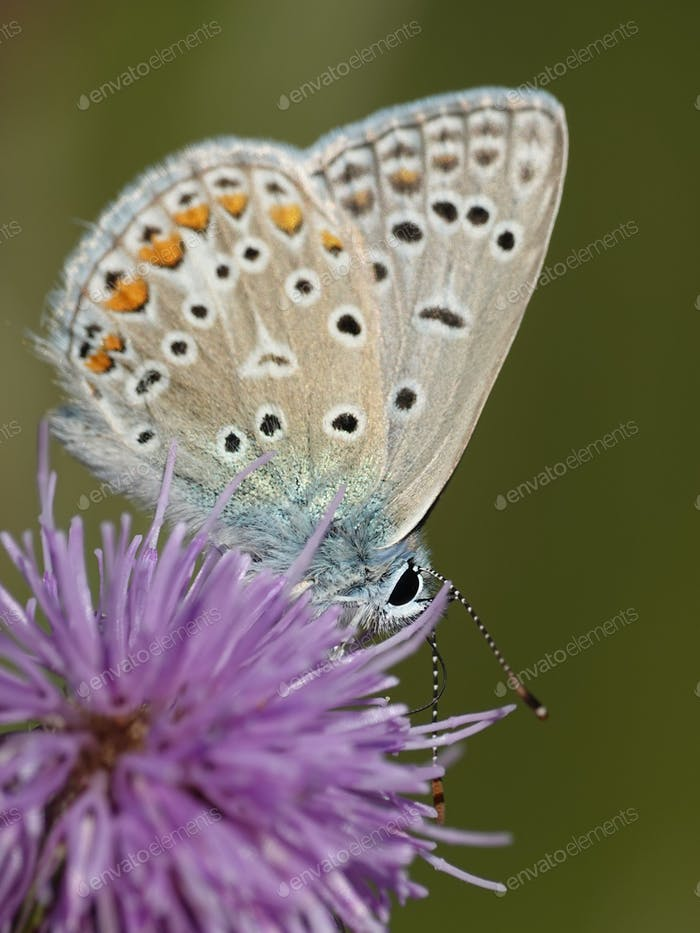 Northern blue (Plebejus idas)