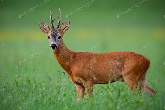 Roe deer buck on green meadow in summer