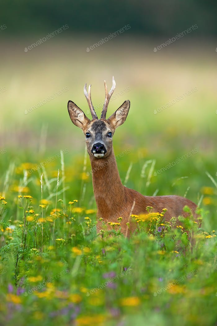 Interested roe deer buck observing on blossoming meadow with yellow wildflowers