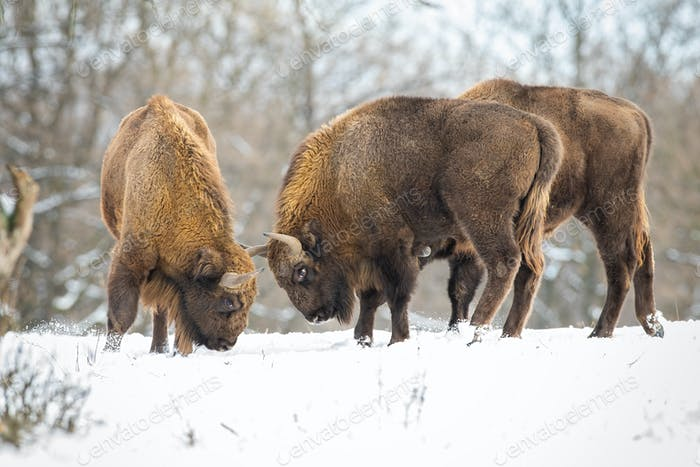Two european bison fighting in forest in winter
