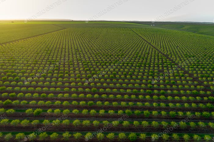 Aereal views of almond tree plantation in Alentejo, Portugal