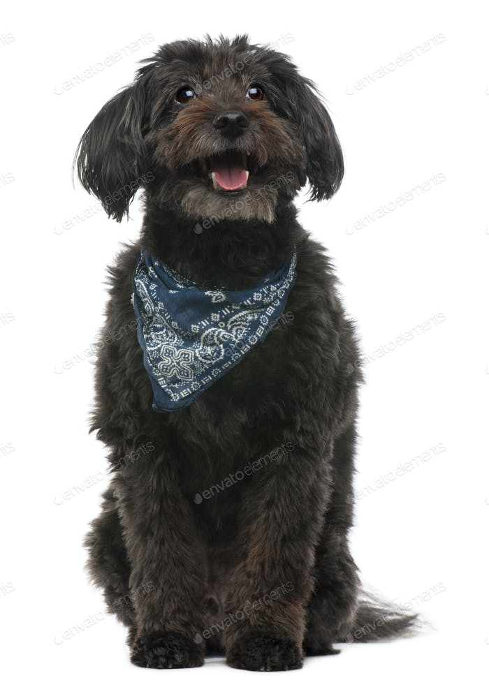 Cross breed dog wearing handkerchief, 10 years old, sitting in front of white background