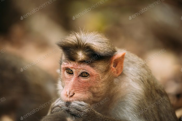 Goa, India. Monkey Bonnet Macaque - Macaca Radiata Or Zati Is Looking For Fleas. Close Up. Monkey