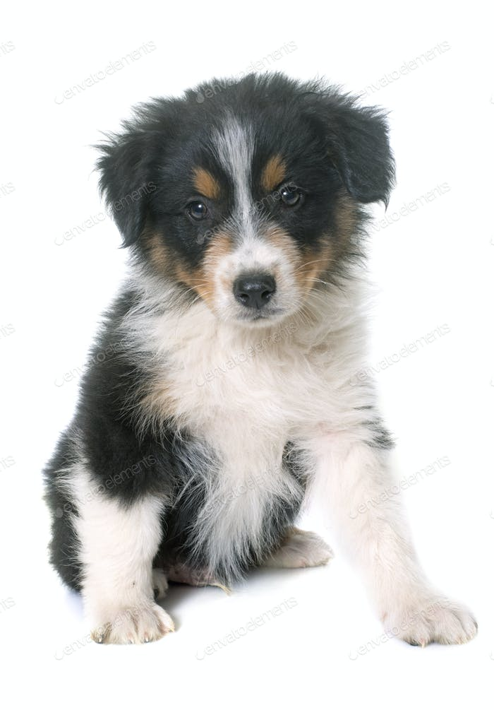 puppy australian shepherd in studio
