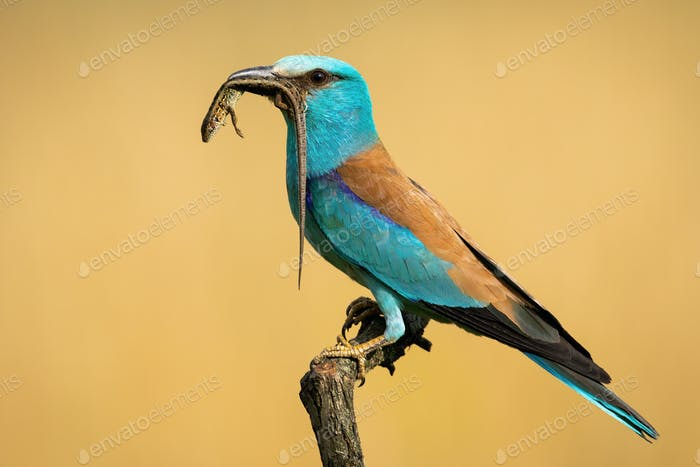 Side view of european roller sitting on a perch holding lizard in the beak