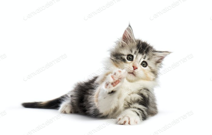 Maine coon kitten, 8 weeks old, reaching with paw, in front of white background