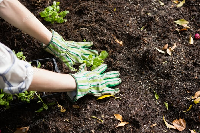 Woman planting young plant into the soil