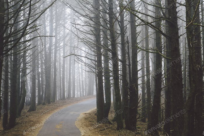 A road winding through trees in the forest, mist hanging in the air.