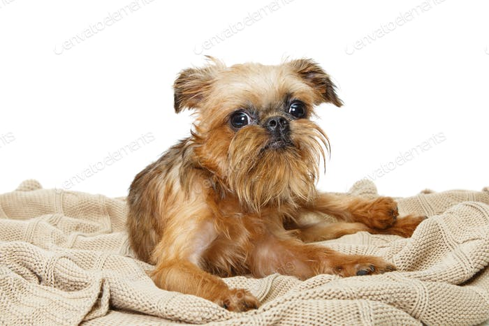 Brussels Griffon puppy lies on  blanket