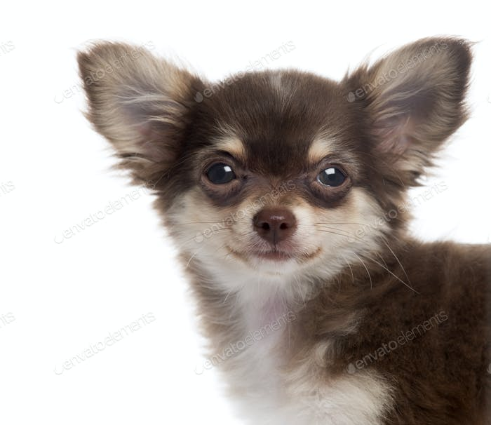 Close-up of a Chihuahua puppy looking at the camera, isolated on white