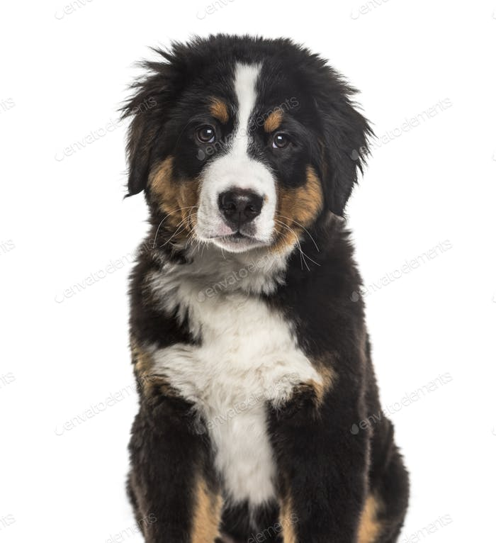 Bernese Mountain Dog , 4 months old, sitting against white background