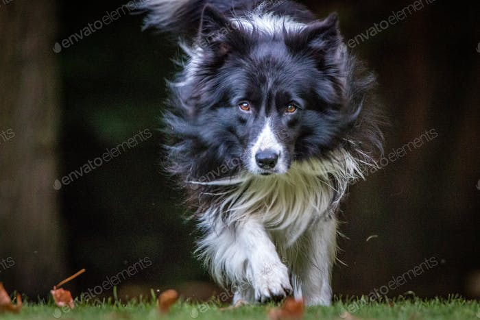 Running black and white Border Collie.