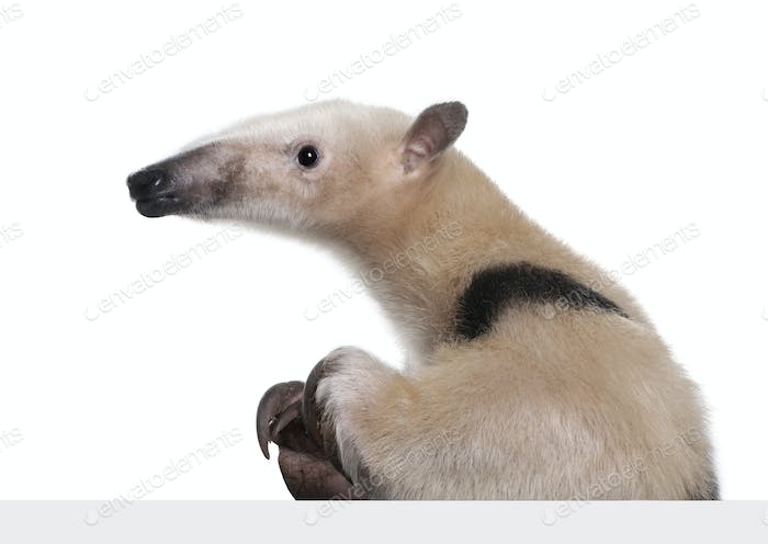 Collared Anteater going out from behind a grey blank panel - Tamandua tetradactyla