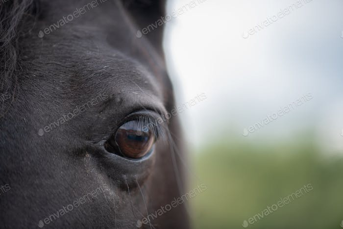 Left brown eye with eyelashes and short hair around of black mare