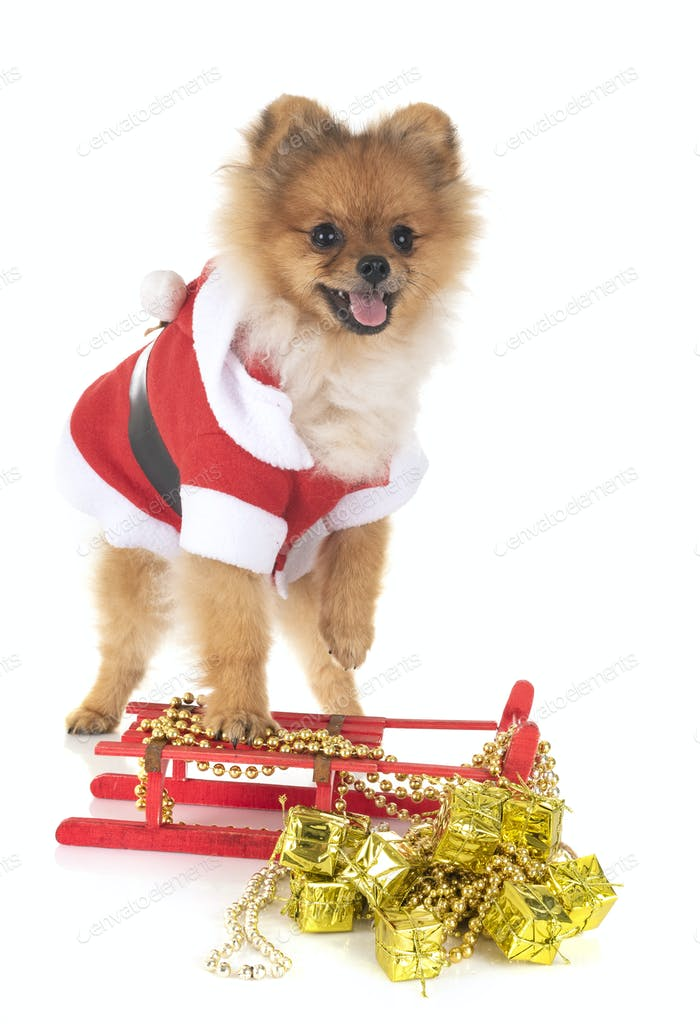 puppy pomeranian and christmas