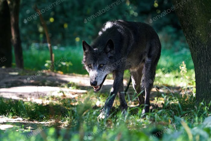 Wolf (Canis lupus)