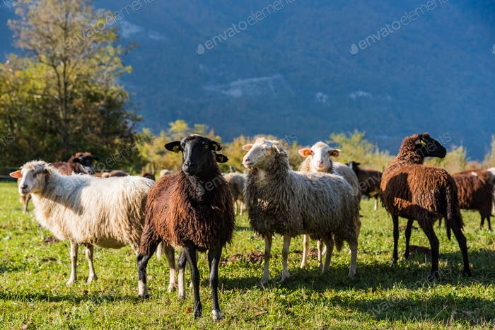 Sheeps pasture on green grass