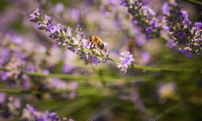 Close-up photo of a Honey Bee gathering nectar and spreading pollen on violet flovers of lavender