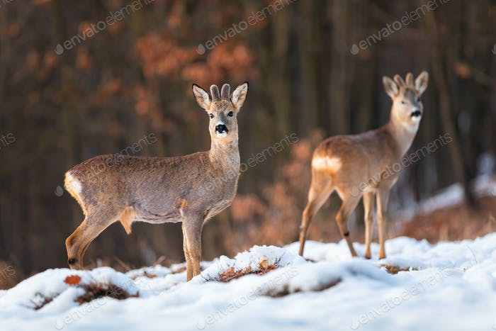 Herd of roe deer on snow in winter at sunset with forest in background