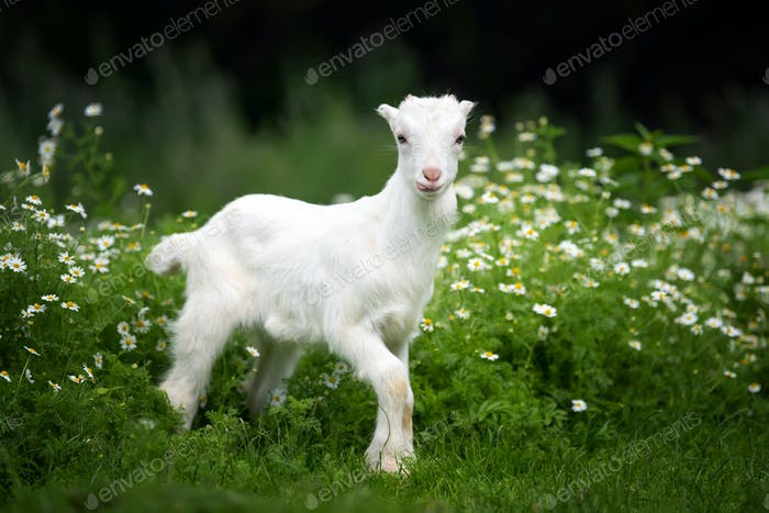 Goat on a pasture