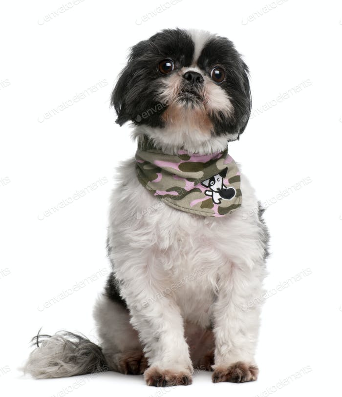 Shih Tzu wearing handkerchief, 4 years old, sitting in front of white background
