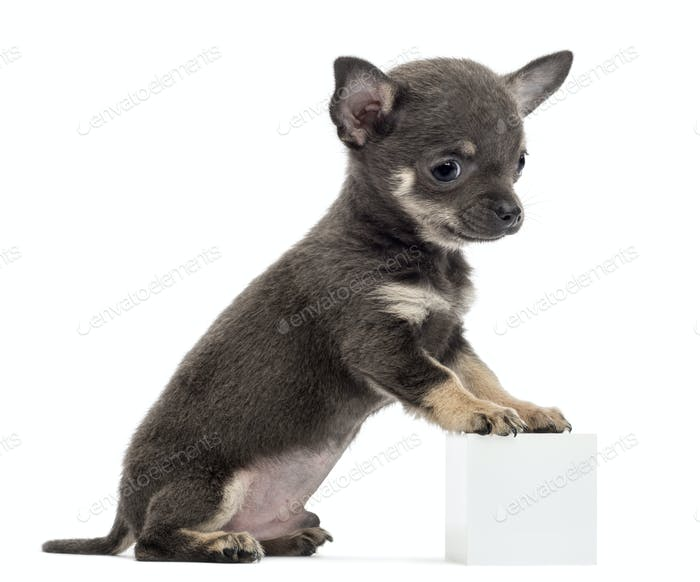 Chihuahua puppy sitting and leaning with its front paws on white cube against white background