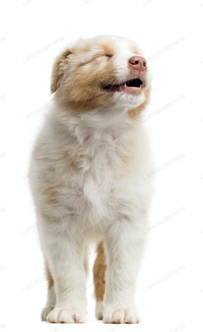 Front view of an Australian Shepherd puppy, 8 weeks old, standing and smiling