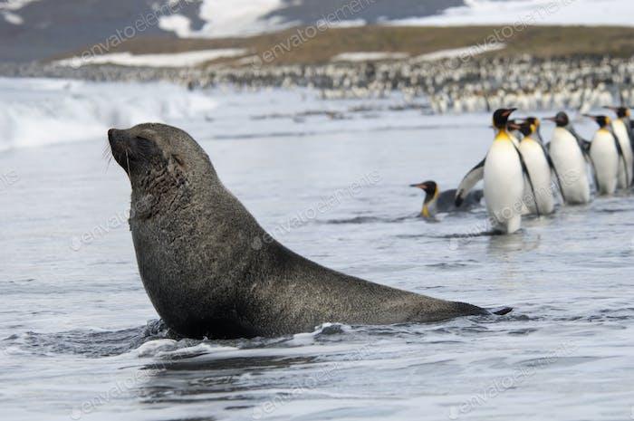Sello de piel antártica, Arctocephalus gazella y pingüinos Rey, Aptenodytes patagonicus caminando en línea