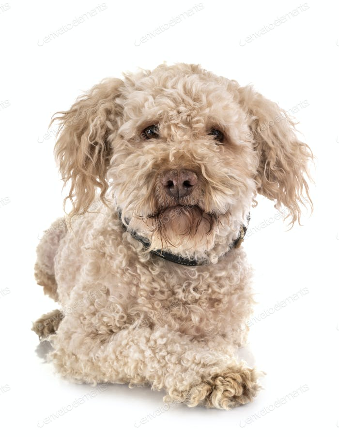 lagotto romagnolo in studio