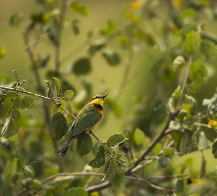 Little bee-eater, Merops pusillus, perched on a branch, Serengeti, Tanzania, Africa