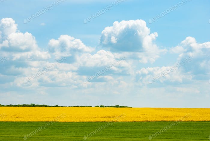 Harvest ready canola field under blue cloudy sky sunny day