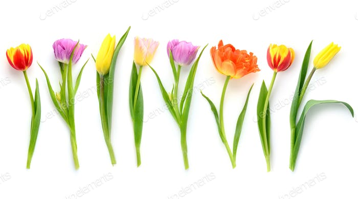Set of different color tulips isolated on white background. Top