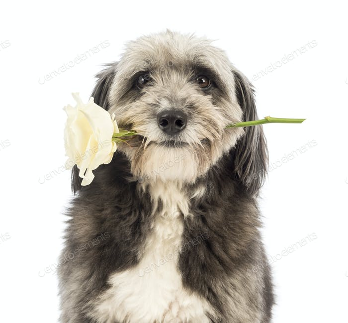 Close-up of a Crossbreed, 4 years old, holding a white rose in its mouth