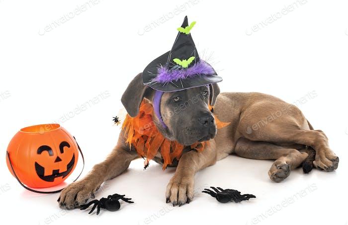 Welpen italienische Mastiff und Halloween