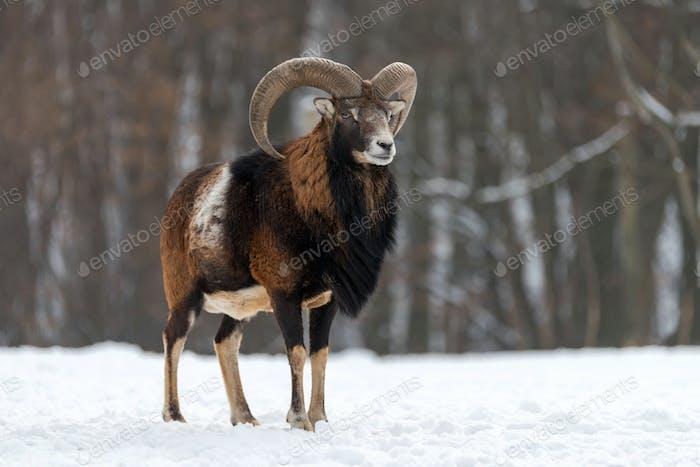 Mouflon, Ovis orientalis, forest horned animal in nature habitat