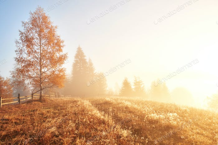 Shiny tree on a hill slope with sunny beams at mountain valley covered with fog. Gorgeous morning