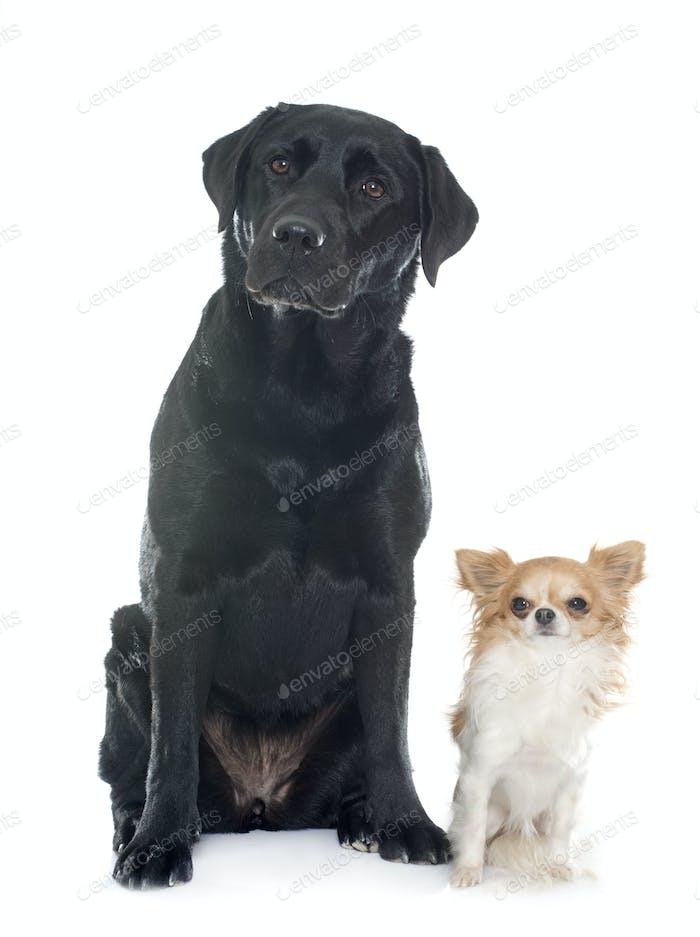 chihuahua and labrador retriever